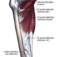 Adducteur muscle