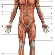 Anatomie du corps humain muscles
