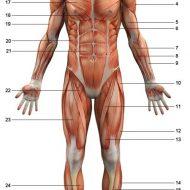Anatomie du corps humain muscles