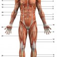 Anatomie humaine muscles
