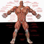 Anatomie muscle