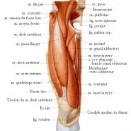 Anatomie muscle cuisse
