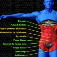 Ceinture abdominale muscle