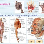 Combien de muscles dans le corps humain