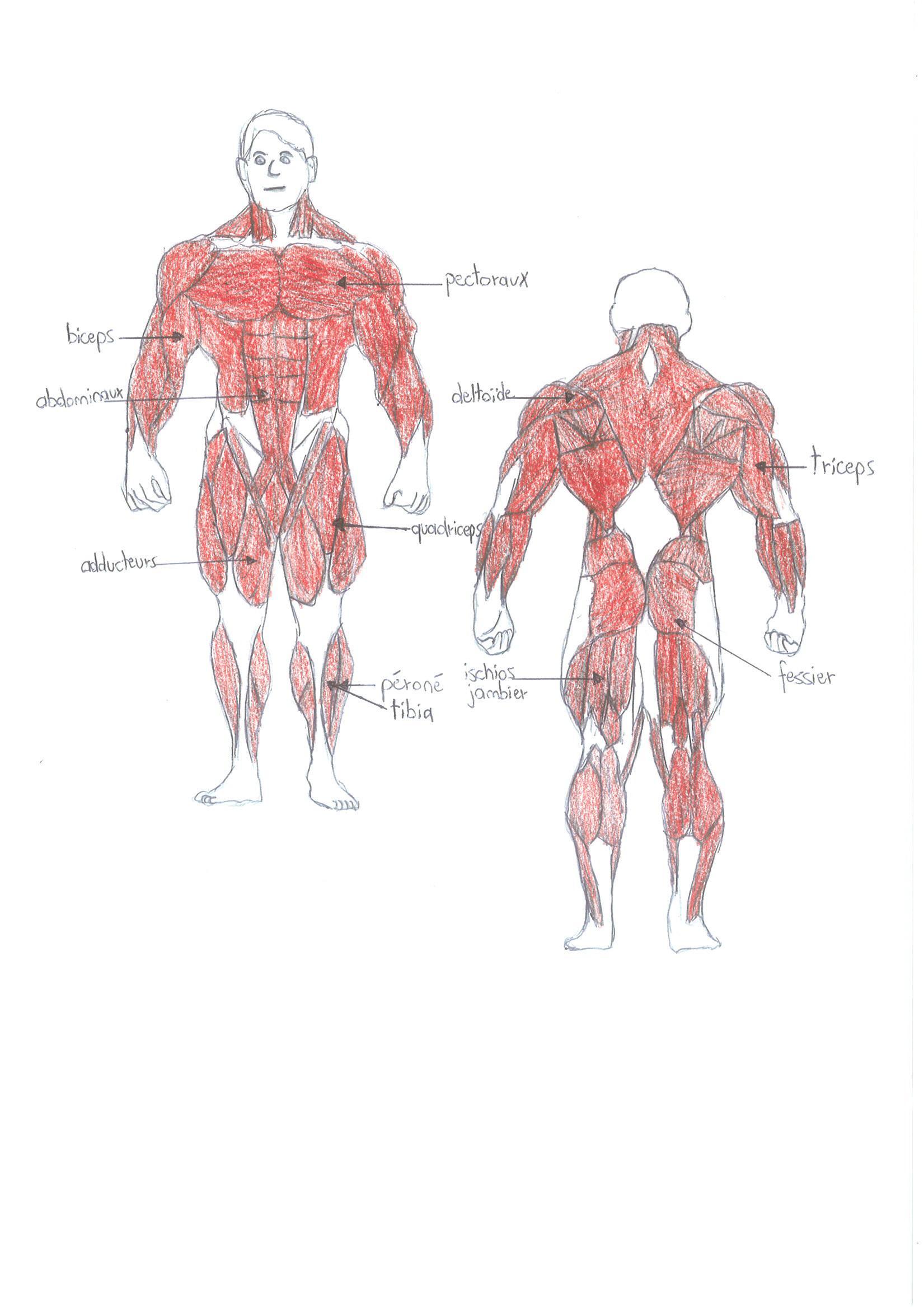 comment devenir muscle