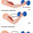 Contraction des muscles