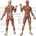 Corps humain muscles