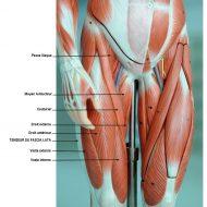 Douleur muscle cuisse