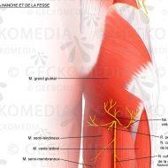 Douleur muscle fessier