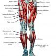 Douleurs dans les muscles des jambes