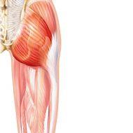 Fesse muscle