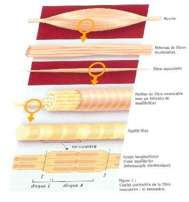 fonctionnement du muscle