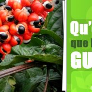 Guarana musculation