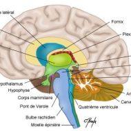 Le cerveau est un muscle