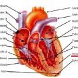 Le muscle cardiaque