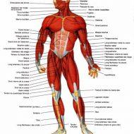 Les différents muscles du corps humain