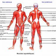 Les muscle