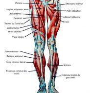 Les muscles des jambes