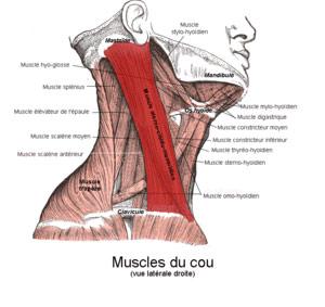 mal au muscle du cou