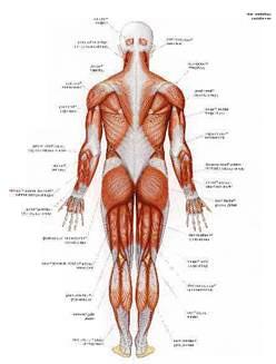 mal au muscle du dos