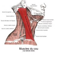 Mal aux muscles du cou