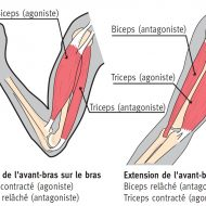 Muscle antagoniste