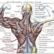 Muscle bas du dos douleur