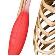 Muscle biceps brachial