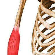 Muscle brachial antérieur