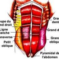 Muscle ceinture abdominale