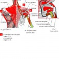 Muscle ceinture scapulaire