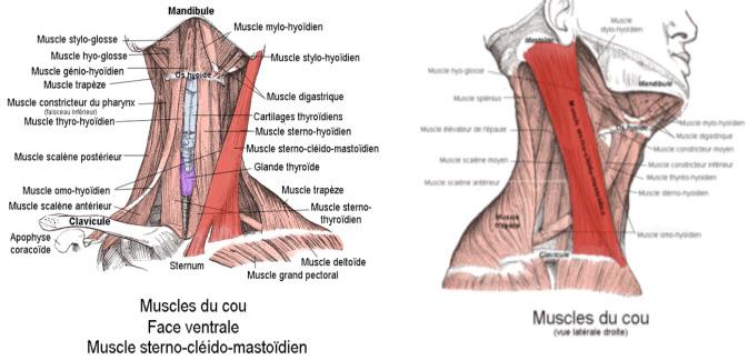 muscle clavicule
