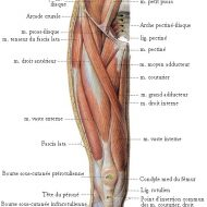 Muscle cuisse