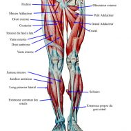 Muscle cuisse anatomie