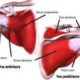 Muscle de l épaule chez l humain