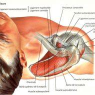 Muscle de l épaule douleur