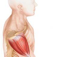 Muscle deltoide