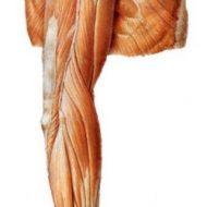 Muscle des bras