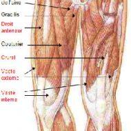 Muscle des cuisses
