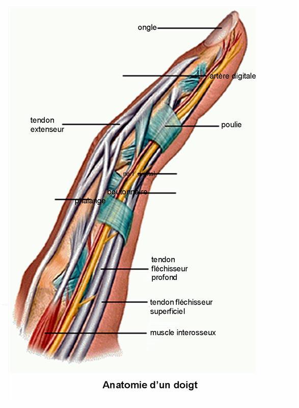 muscle des doigts
