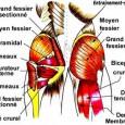 Muscle des fesses