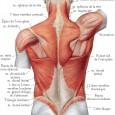 Muscle dorsaux