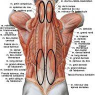 Muscle du bas ventre