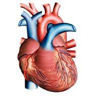 Muscle du coeur