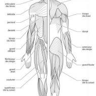 Muscle du corps humain schema