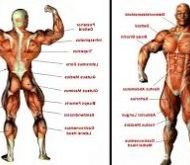 Muscle du corps musculation