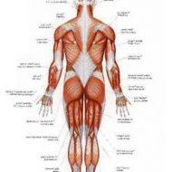 Muscle du dos douleur