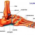 Muscle du pied