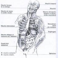 Muscle du rire