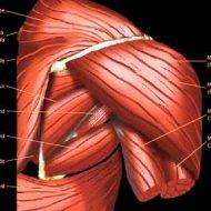 Muscle épaule anatomie